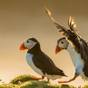 Papageitaucher | Puffin