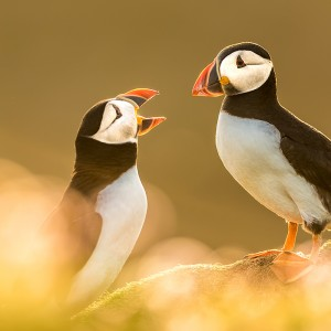Papageitaucher-Puffin-Fair-Isle